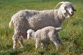 stock photo of baby goat  - An Angora goat nursing a kid in a grass field - JPG