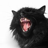 Angry Black Persian Cat On White Background