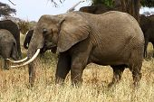 Elehpant Matriarch