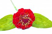 Red Zinnia (Zinnia violacea) isolated on white