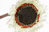 Blooming white sunflower (Helianthus)