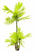 Young Macarthur Palm Tree Isolated