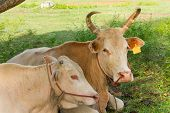 stock photo of charolais  - Two cows lied on a green field - JPG