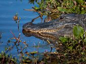 American Alligator (alligator Mississippiensis)sunning Itself