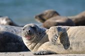 image of sticking out tongue  - Harbor seal stick one - JPG