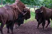 pic of aurochs  - Aurochs on the grass in the summer forest - JPG