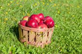 Freshly picked apples in a half bushel basket.