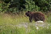 Black Bear In A Wild