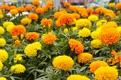 Bright yellow and orange marigolds