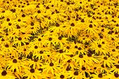 stock photo of black-eyed susans  - Sunny field with yellow flowering black eyed susan plants - JPG
