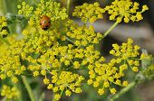 Ladybird on Wild Parsnip
