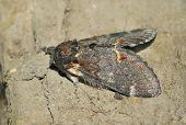 Iron Prominent Moth