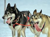 image of sled dog  - A husky sled dog team at work with tongue outside by winter day - JPG