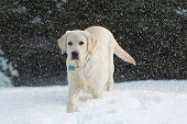 Rudy The Yellow Lab In The Falling Snow