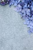 picture of hydrangea  - Hydrangeas over a craquelure background with room for copy space - JPG