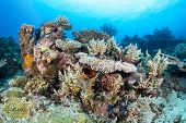 A healthy tropical coral reef hosting tabletop and staghon corals and encrusting, colorful sponges w