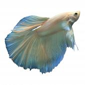 picture of fighter-fish  - file of fighting fish betta isolated white - JPG
