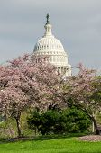 United States Capitol building in spring, Washington DC