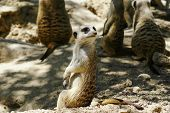 pic of gopher  - European ground squirrel  - JPG