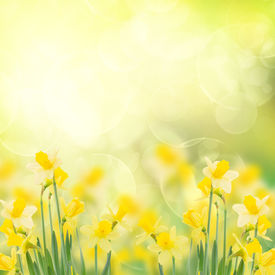 stock photo of daffodils  - spring growing daffodils in garden  isolated on white background - JPG