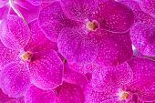 Pink Vanda Orchid Pattern