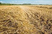 stock photo of roughage  - Closeup of a heap of golden yellow dry straw stalks on the field after harvesting the wheat - JPG