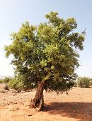 Argan tree (Argania spinosa)