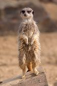 An alert meerkat