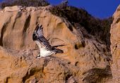 foto of osprey  - An Osprey glides along the cliffs at Torrey Pines State Beach - JPG