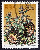 Postage Stamp South Africa 1977 Clasping-leaf Sugarbush, Floweri