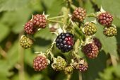 Blackberry - Mellow And Green Berries