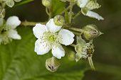 Blackberry - Blossoms