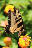 Yellow Tiger Swallowtail butterfly (Pterourus glaucus) on orange zinnia flowers