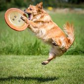 image of frisbee  - a brown mongrel dog has just a Frisbee with his front paws.