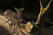 Deer in Nara at morning in Japan.