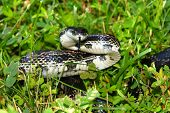 foto of rats  - Rat Snake on a summer day at Eldon Hazlet State Park of Illinois - JPG