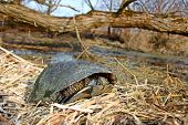 picture of endangered species  - The Blandings Turtle (Emydoidea blandingii) is considered an endangered species in the state of Illinois.