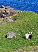 pic of iceland farm  - Icelandic sheep with large horns in a green pasture