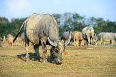 Buffalo Grazing On A Green Grassy Field