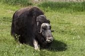 stock photo of musky  - The muskox is an Arctic mammal noted for its thick coat - JPG