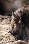 pic of aurochs  - bison take a mud bath Prioksky - JPG
