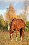 stock photo of feeding horse  - Chestnut horse eating at the pasture in autumn