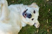 Laughing Golden Retriever