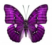 Close Up Of Purple Butterfly In Fancy Color Isolated On White Background