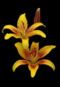 picture of stargazer-lilies  - Two yellow lily flowers with droplets of water close - JPG