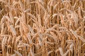 Ripe Yellow Ears Of Wheat
