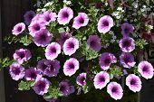 Petunia grandiflora flowers in summer