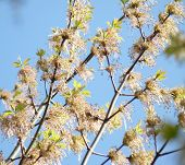 Spring Sprig Of Maple On The Background Of A Beautiful Blue Sky