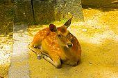 Sika Deer is bathing in the sun