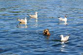 pic of flock seagulls  - Lonely duck surrounded by a flock of seagulls floating in a pond